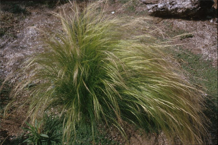 Plant photo of: Stipa tenuissima