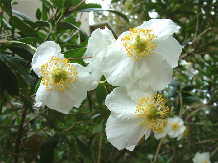 Plant photo of: Carpenteria californica