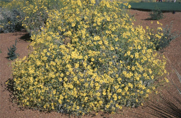Plant photo of: Encelia farinosa