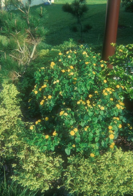 Plant photo of: Lantana 'Lemon Swirl'