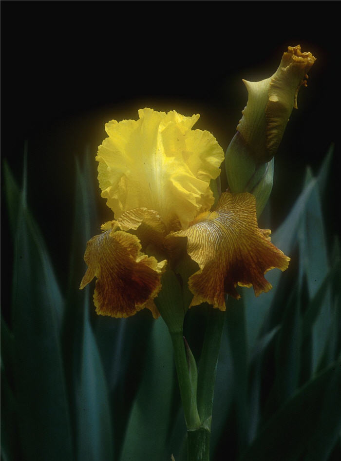 Plant photo of: Iris bearded 'Bengal Tiger'