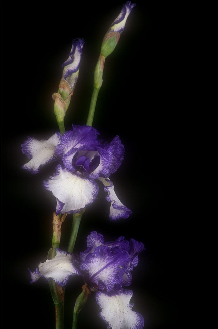 Plant photo of: Iris bearded 'Blue Staccato'