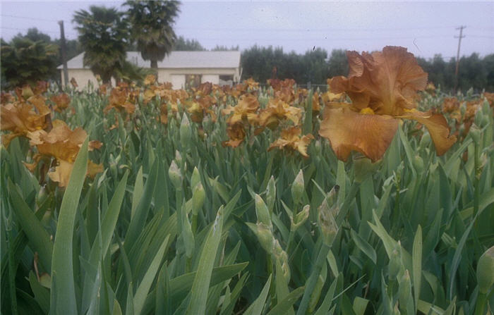 Plant photo of: Iris bearded 'Cable Car'