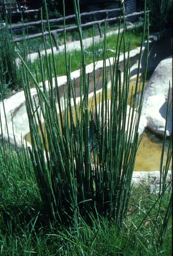 Plant photo of: Equisetum hyemale
