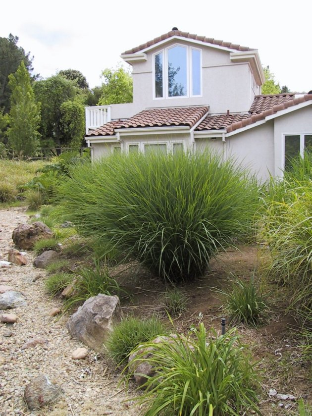Plant photo of: Calamagrostis acu. stricta
