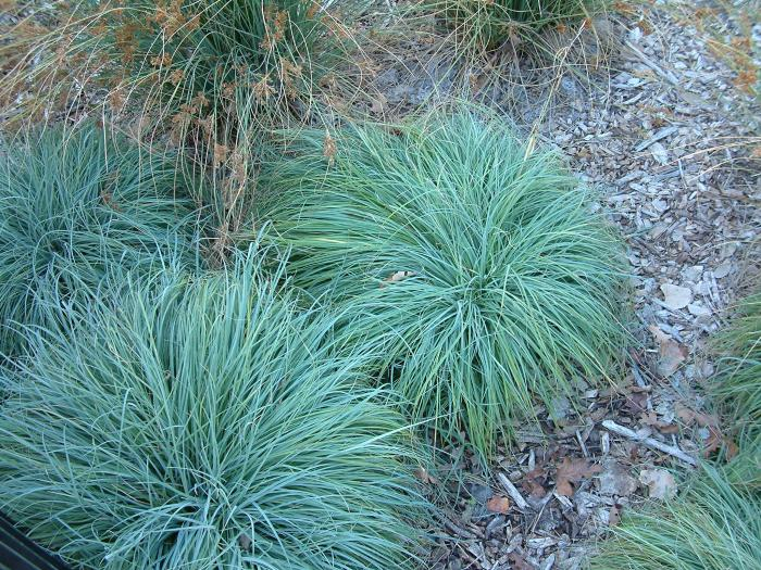 Plant photo of: Festuca ovina glauca