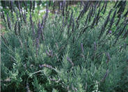 Lavandula 'Goodwin Creek Grey'