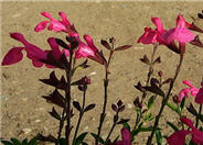 Salvia greggii 'Red Star'