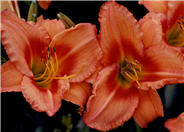 Hemerocallis 'Lee Bea Orange Crush'